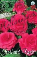 Begónia nagyvirágú  rózsaszín