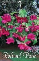 Begonia Pendula  (futó) rózsaszín
