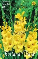 Gladiolus  Nova Lux