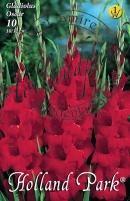 Gladiolus Oscar