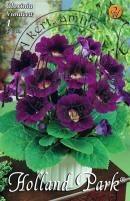 Gloxinia  Violacea   lila