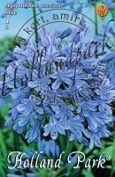 Agapanthus umbellatus  kék