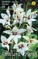 Gladiolus Callianthus Muriliae