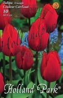 Tulipán Triumph Colour Cardinale