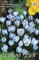 Crocus Species Chrysanthus  Blue Pearl