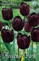Tulipán egyszerű késői Queen of Night