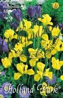 Iris danfordiae sziklakerti