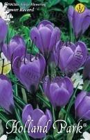 Crocus Nagyvirágú Flower Record