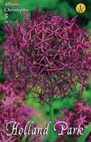 Allium Christophii díszhagyma