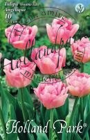 Tulipán dupla késői Angelique