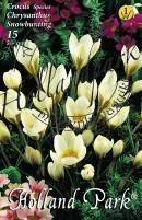 Crocus Species Chrysanthus  Snowbounting