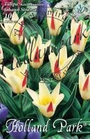 Tulipán kaufmanniana Johann Strauss