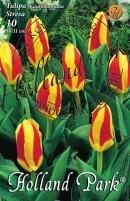 Tulipán Kaufmanniana Stresa